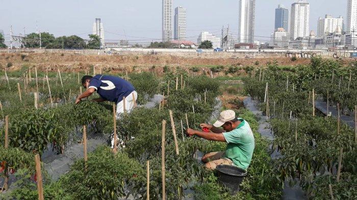 Menilik Lahan Pertanian di Bantaran Kali dekat Tanah Abang, Intip Deretan Fotonya