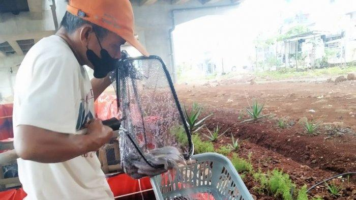 Petugas PPSU Kelurahan Cipinang Melayu dan warga kembali nikmati hasil panen dari budidaya lele di kolong Tol Becakayu, Makasar, Jakarta Timur.