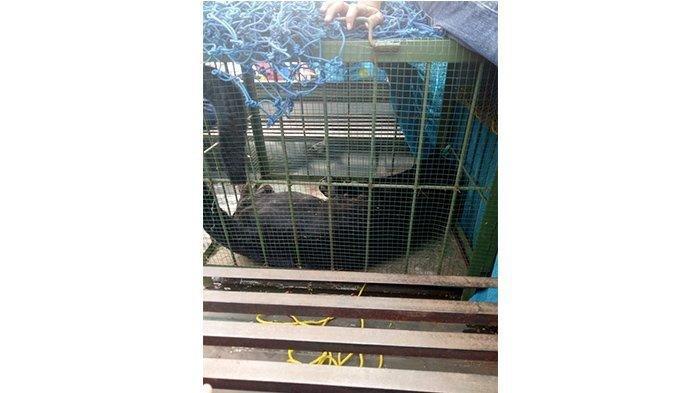 FK3I Jabar Soroti Macan Kumbang yang Masuk ke Permukiman Warga di Subang