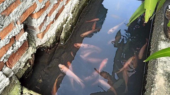 Selokan di Koja Mirip di Jepang, Sulap Got Kotor Jadi Tempat Habitat Ikan Air Tawar