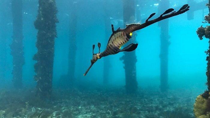 Melihat dari Dekat Karakter Naga Laut, Satwa yang Sangat Sulit Ditemui
