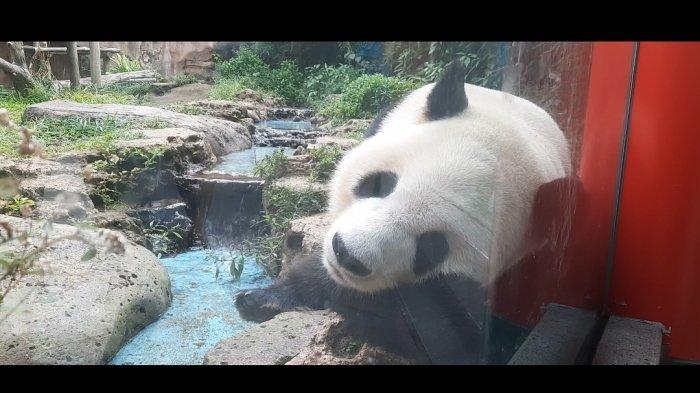 Berkenalan Dengan Hu Chun dan Cai Tao, Dua Panda Lucu dan Menggemaskan di Taman Safari Bogor