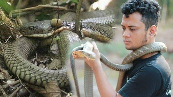 Marak Fenomena Ular Kobra Teror Pemukiman Warga, Panji Petualang Ungkap Faktor Penyebabnya