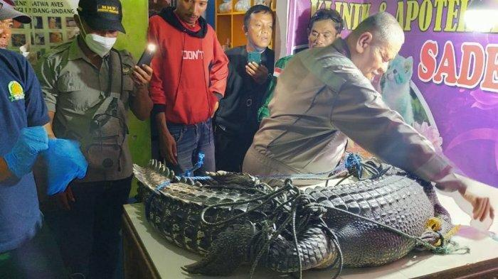 Penemuan buaya muara (Crocodylus porosus) dengan panjang 2.55 meter dan berat 100 kilogram saat dibawa ke klinik hewan dr. Sadewo, sesaat sebelum dikubur, pada Jumat (25/12/2020).