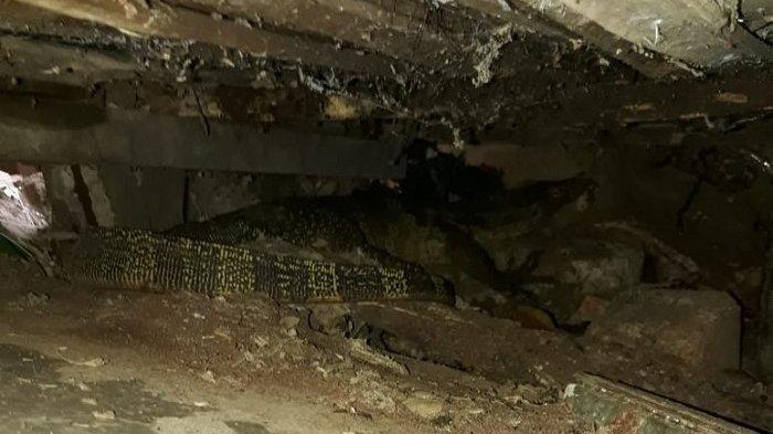 Penemuan seekor biawak ngumpet di Jalan Kenanga RT.09/02 Kelurahan Joglo, Kecamatan Kembangan, Jakarta Barat