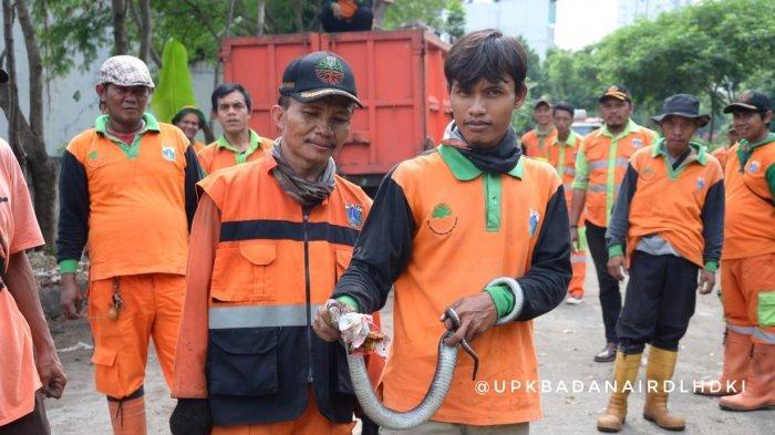 Gerebek Sampah di Kebon Jeruk, Petugas UPK Badan Air Temukan Ular Kobra
