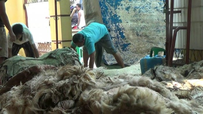 Usai Idul Adha, Pengepul Kulit Hewan Kebanjiran Pasokan