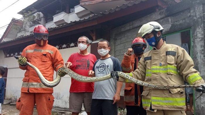 Damkar Jakarta Timur Evakuasi 3 Ular Sanca Dalam 3 Hari, Paling Panjang 4 Meter, Ini Penampakannya
