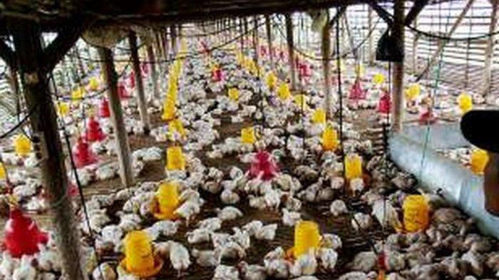 DPR Minta Alokasi Impor Bibit Ayam Senafas dengan UU Cipta Kerja