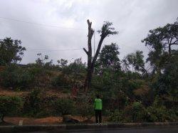 Imbas Pohon Tumbang di Seberang TMII, Petugas Dinas Kehutanan Masih Lakukan Penopingan