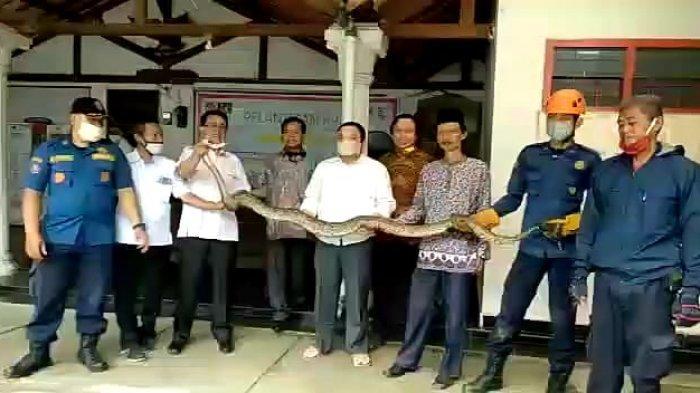 Ular Sanca Lima Meter Sembunyi di Halaman Belakang Kantor, Ketua KPU Kota Depok: Saya Juga Ngeri