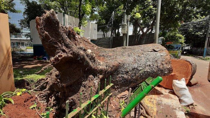 Update: Pohon Besar Roboh di Jalan Sumenep Menimpa Rumah dan Tembok Pembatas