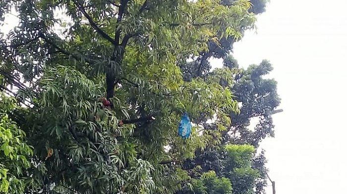 Akar Pohon Patah di Sawah Besar Hampir Tewaskan Pria 50 Tahun, Komentar Kasudin Pertamanan Jakpus