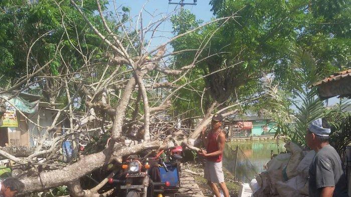 Pohon Tumbang di Bekasi Timpa Pengendara Motor Roda Tiga