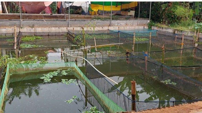 Sulap Lahan Kosong Jadi Produktif, Segini Cuan Hasil Budidaya Ikan Hias di Kebagusan Jakarta Selatan