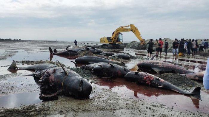 Diduga Terdampar Saat Migrasi ke Perairan Tenang Jadi Penyebab 52 Ekor Paus Terdampar di Madura