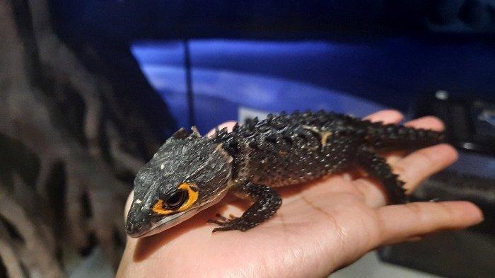 Mengenal Si Cantik Red Eyed Crocodile Skinks, Kadal Berduri yang Bentuknya Menyerupai Naga