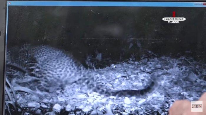 Biasanya Butuh Waktu 3 Bulan, tapi Kang Dedi Hanya 21 Hari untuk Buktikan Keberadaan Macan Tutul