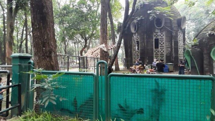 Ada Rombongan Ekslusif di Kebun Binatang Ragunan, Bebas Masuk Kandang dan Kasih Makan Jerapah