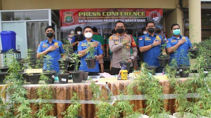 Berawal dari 1 Paket, Kronologi Polres Jakarta Barat Ungkap Ratusan Pot Ganja Hidroponik di Brebes