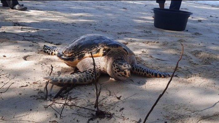 Salah satu penyu yang barusaja dilepas ke habitat aslinya di Pulau Seribu.