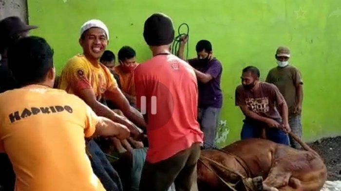 Warga Ciranjang menggeser kembali sapi kurban ke tempat pemotongan, setelah sempat lepas tali dan mengamuk, Selasa (20/7).