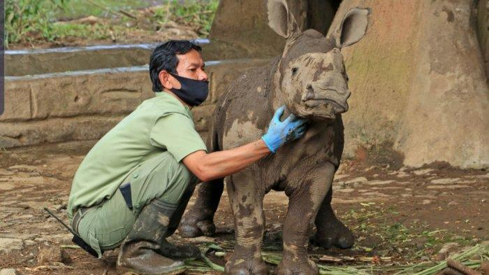 Seekor animal keeper mengecek anak badak putih (Ceratotherium simum) yang terlahir secara normal dengan berat kurang lebih 50 kilogram dan tinggi 50 sentimeter di Taman Safari Bogor. Anak badak putih ini dinamai Azsyifa yang lahir dari betina Chuma dan pejantan bernama Merdeka.