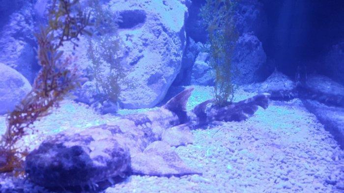 Spotted Wobbegong, Spesies Hiu Bertubuh Unik dan Berjanggut