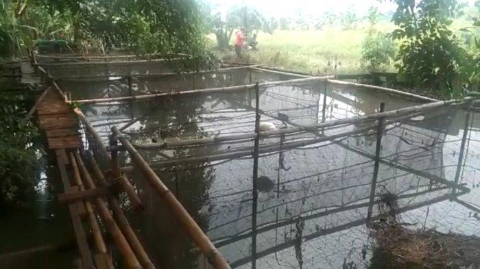 2 Kwintal Lele Siap panen Milik Wandi Hilang saat Banjir Menerjang, Kerugian Hingga Puluhan Juta
