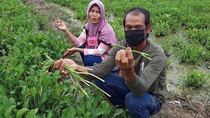Melihat Budidaya Genjer Petani di Bekasi, Harga Jual Tinggi Bisa Panen Tiap Pekan