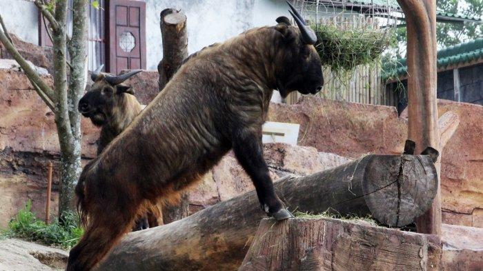 Sambut Imlek, Taman Safari Bogor Perkenalkan Takin: Satwa Unik Mirip Kerbau Asal pegunungan Himalaya
