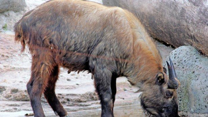 Takin atau Bidorcas taxicolor merupakan salah satu satwa unik yang bisa traveller jumpai di Taman Safari Bogor, Jawa Barat.