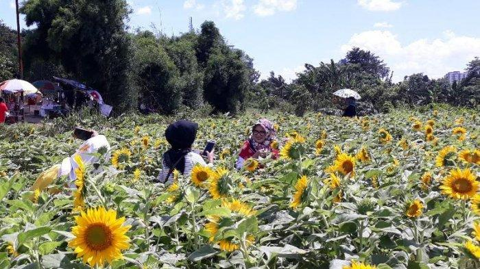 Buruan! Taman Bunga Matahari Viral Tangerang Akan Pindah Lokasi 10 Hari Lagi