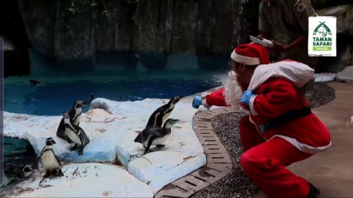 Perayaan Natal, Bakal Ada Aksi Santa Claus Bagi-bagi Makanan ke Pinguin di Taman Safari Bogor