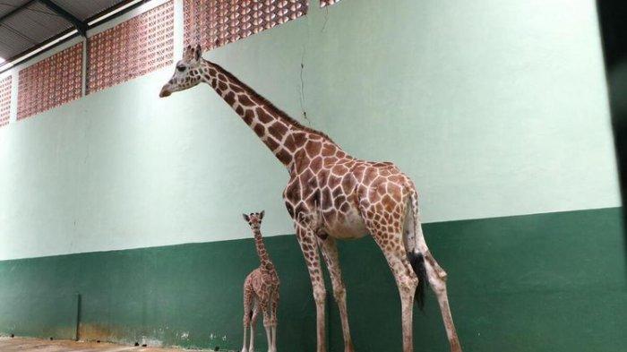 Kenalkan si Gemas Corona: Bayi Jerapah yang Lahir di Taman Safari Prigen Jawa Timur