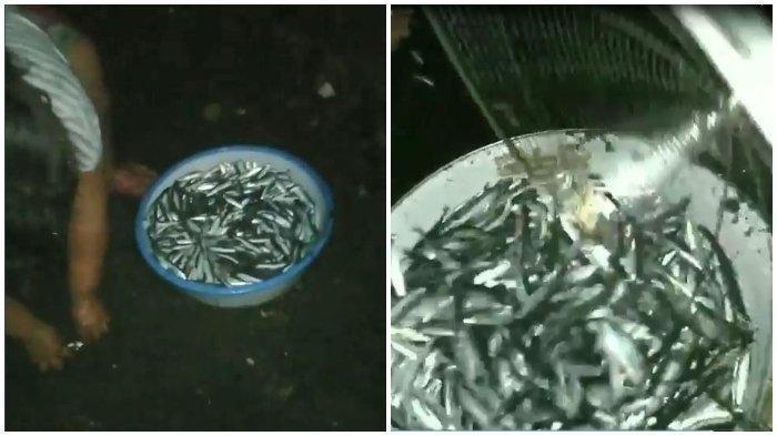 Viral Video Ribuan Ikan Loncat ke Daratan, Warga Heboh Memungutnya