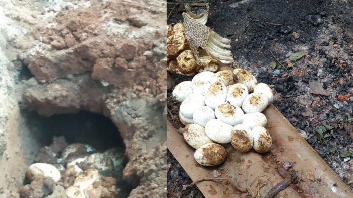 Temuan telur ular kobra di salah satu rumah warga di Jalan KH. Agus Salim RT 01/RW 08 Kelurahan Pedurenan Kecamatan Mustika Jaya Kota Bekasi, Sabtu, (7/11/2020) lalu.