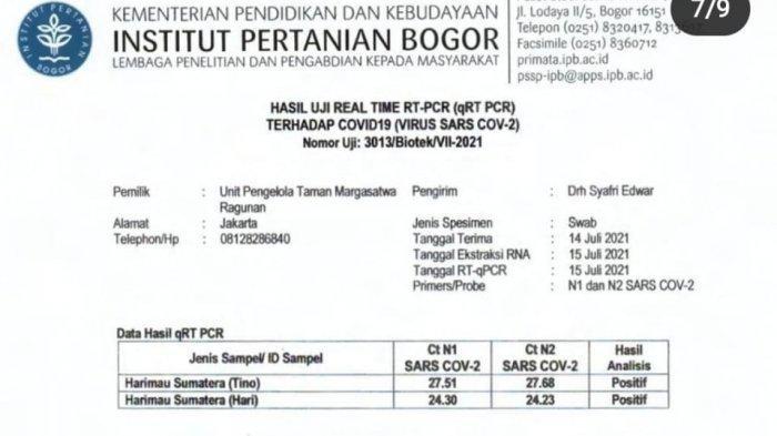 Tes PCR Harimau Sumatera Hari dan Tino