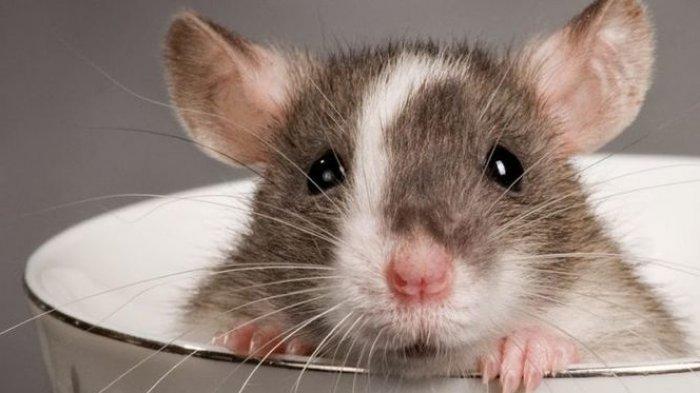 Tak Cukup Pakai Jebakan, Simak 6 Cara Efektif Usir Tikus agar Tidak Bersarang di Rumah Anda