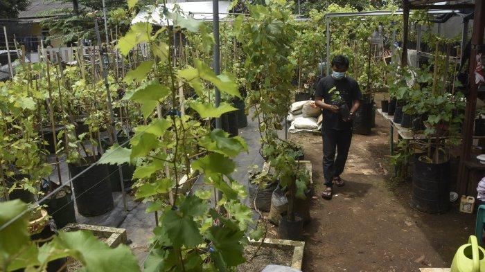 Usaha kebun Toekang Anggoerdi Jalan Bambu Kuning V, Kelurahan Sepanjang Jaya, Kecamatan Rawalumbu, Kota Bekasi.
