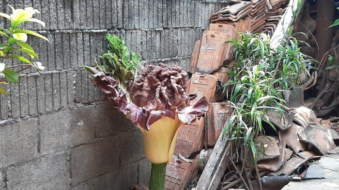 Tumbuhan mirip bunga bangkai mekar di pekarangan rumah warga di Jalan Bunga Rampai, Cipete Selatan, Cilandak, Jakarta Selatan, Selasa (12/10/2021).