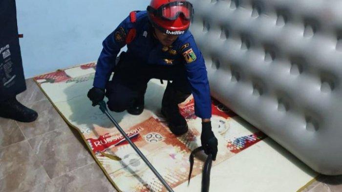 Petugas Damkar Tangkap Ular Kobra Ukuran 1 Meter dari Bawah Kasur di Komplek Pemadam Kembangan