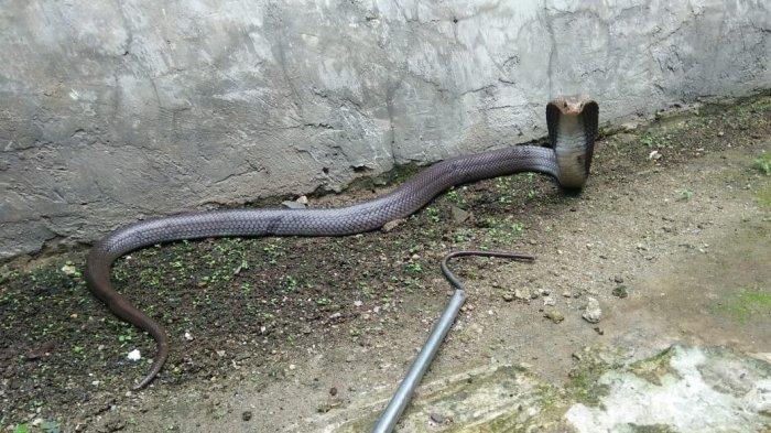 Seekor Ular Kobra Jawa Ngumpet di Tumpukan Boneka Bikin Geger Rumah Warga di Ciputat Tangsel