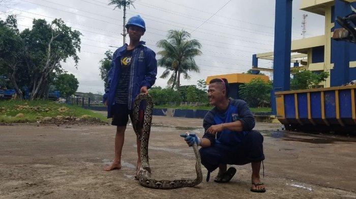 Sanca 3 Meter Ditemukan di Saringan Sampah Rumah Pompa Sunter