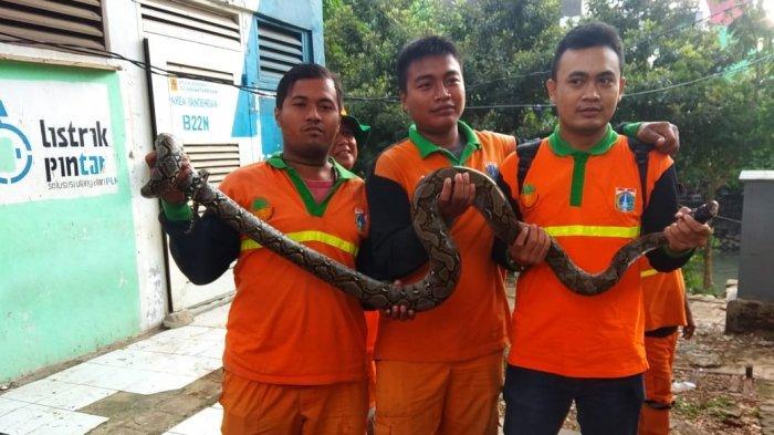Ular Sanca Sepanjang 2 Meter Ditangkap di Kali Samping RPTRA Kalijodo