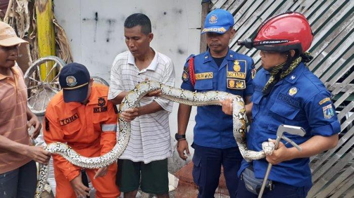 Petugas Tangkap Ular Sanca 3 Meter di Kali Angke, Dibawa ke Balai Konservasi Sumber Daya Alam