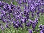 bunga-lavender.jpg