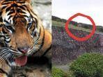 harimau-di-gunung-dempo-bikin-warga-ketakutan.jpg