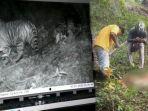 harimau-sumatera-terkam-sapi-milik-warga.jpg