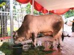 hewan-kurban-berupa-sapi-milik-presiden-joko-widodo-di-masjid-istiqlal.jpg